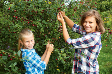 Family picking red cherry from tree in summer garden.