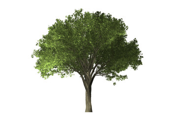 tree on white background with clipping path.