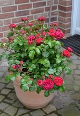 Rote Rose im Kübel 3