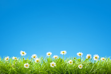 Photo sur Plexiglas Marguerites Border of Sweet Daisies in Green Grass with Clear Blue Sky