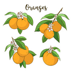 Oranges set. Cute vector illustrations. Cartoon style. Orange tree branches. Citrus collection. Hand drawn isolated on white.
