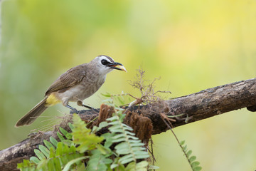 Cute bird perching with fruit in mouth.Bulbul bird,Yellow-vented bulbul ( Pycnonotus goiavier ) eating  banana  in summer.