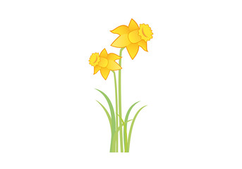 Yellow narcissus vector. Spring flower. Narcissus on white background. Floral vector illustration