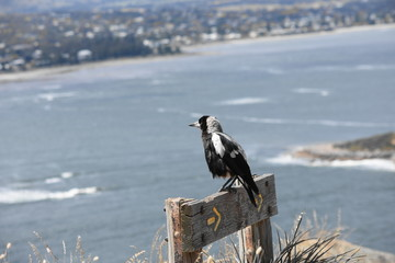 ocien view magpie