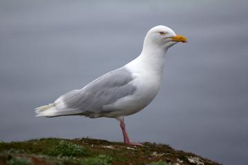 adult male Burgomaster gull (Larus hyperboreus) in Arctic