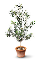 Lush olive tree in pot isolated
