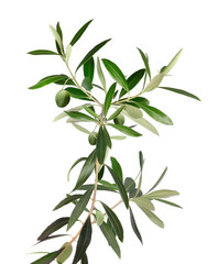 Fresh olive tree branch isolated