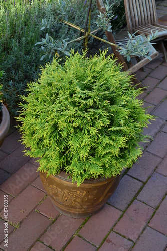 thuja occidentalis danica im k bel stock photo and royalty free images on pic. Black Bedroom Furniture Sets. Home Design Ideas