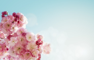 Cherry blossom spring background
