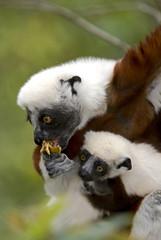 Propithèque de Coquerel, femelle et jeune,  Sifaka de Coquerel, Lémurien, Propithecus coquereli, Madagascar