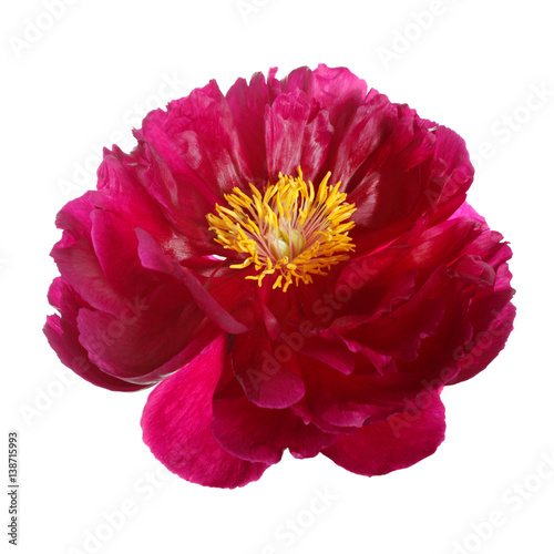 Peony flower dark pink color with yellow middle isolated on a peony flower dark pink color with yellow middle isolated on a white background mightylinksfo