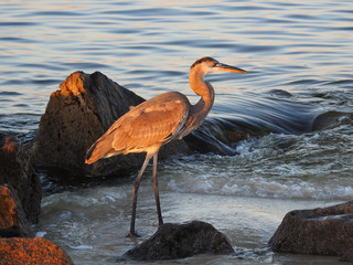 Wall Mural - Young Great Blue Heron Patrolling the Rocks at Sunset