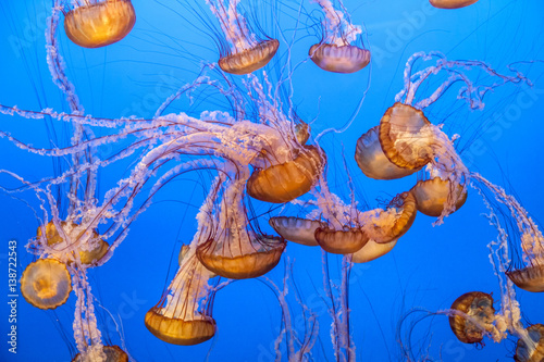 Fototapete jelly fish in the blue sea