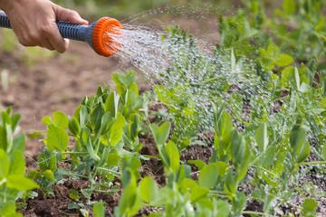 hand of gardener watering green peas