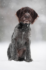 young hunting dog on the winter walking