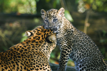 Sri Lanka panter - welp pakt moeders oor.