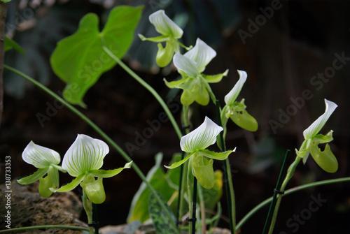 orchid e sabot de v nus verte et blanche stock photo and royalty free images on. Black Bedroom Furniture Sets. Home Design Ideas