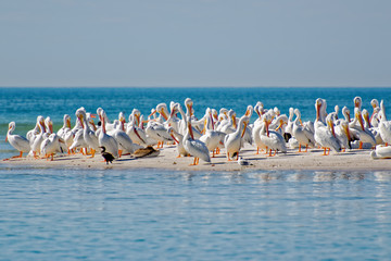 White pelicans resting on the beach