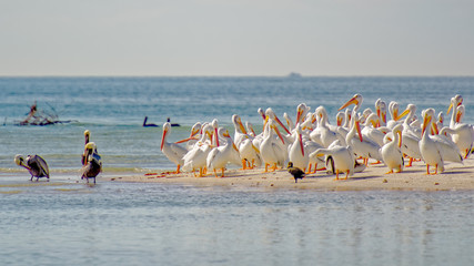 White pelicans are safe on the bird sanctuary