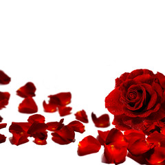 Red rose petals and rose isolated on white background.