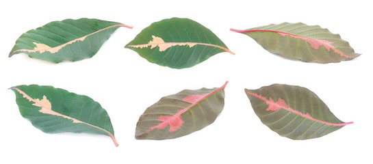 Leaves of Caricature plant (Graptophyllum Pictum) on white background