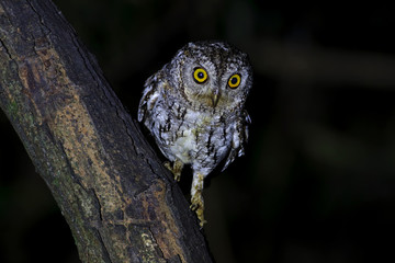 Oriental Scops-Owl Otus sunia Birds at Night
