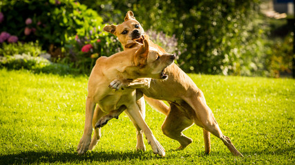 Brown Labrador dogs fighting with each other