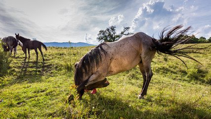 Horse on a meadow in the Slovakian region Orava