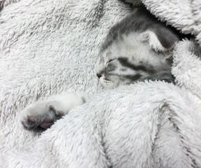 Fond de hotte en verre imprimé Sheep Sleeping scottish fold cat