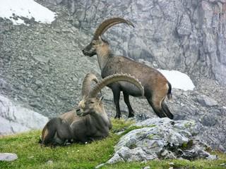 Mächtige alte Alpensteinböcke (Capra ibex) am Tälli-Klettersteig, Tällistock, Gadmen, Schweiz