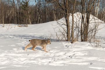 Canadian Lynx (Lynx canadensis) Walks Right Near Trees