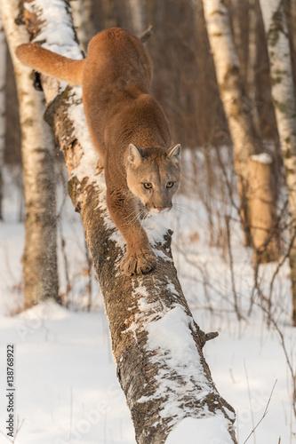 63fac75ad8cfc Adult Female Cougar (Puma concolor) Walks Down Tree