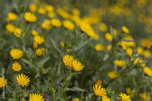 Flores Silvestres Margaritas Amarillas Stock Photo And Royalty