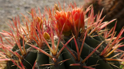 Cactus flowers macro. Cactus with a big red thorns. Blooming cactus.