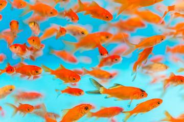 Many small goldfish swimming in aquarium