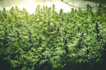 Background of Thick Cannabis Plants Growing Indoor with Big Marijuana Buds and Stylized Filter