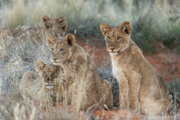 Lion (Panthera leo) cubs. Northern Cape. South Africa.
