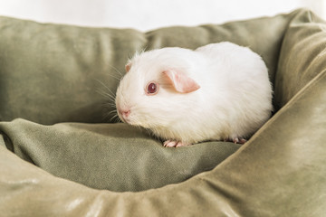 Белая морская свинка на диване.