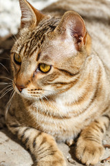 Gato de raza Bengalí.