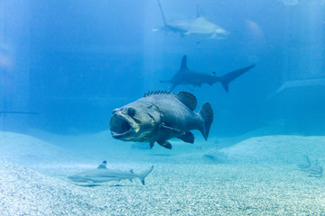 Giant grouper with shark in blue sea
