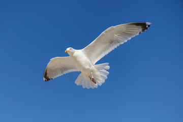 Single seagull flying against background  of blue sky.