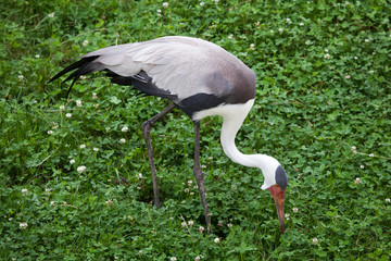 Fototapete - Wattled crane (Bugeranus carunculatus).