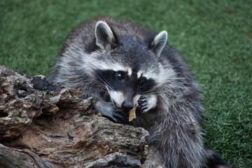 Fototapete - Raccoon (Procyon lotor)