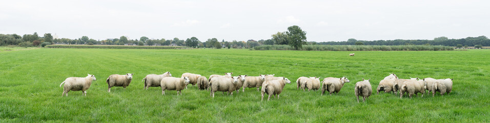 Fond de hotte en verre imprimé Sheep Group of sheep grazing in a Dutch meadow at summertime