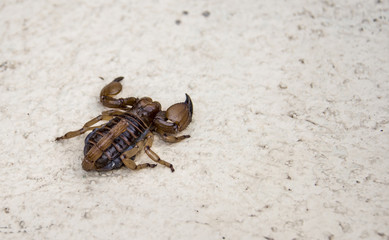 scorpion in south africa