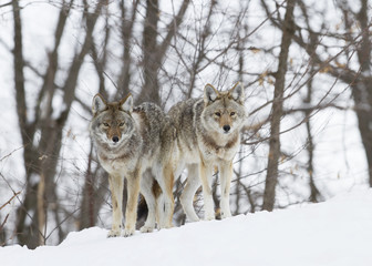 Coyotes walking in the winter snow