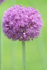 Purple Allium in Blooom