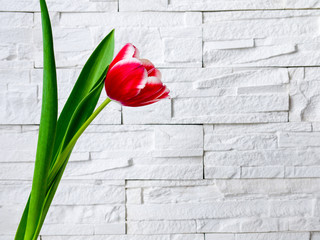 Spring flowers tulips on the background of the white stone walls