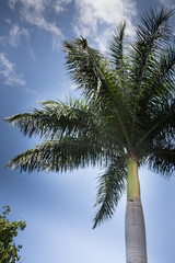 Green palm tree on a blue sky background with high clouds