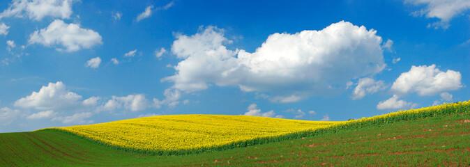 Wall Mural - Rollende Hügel mit Rapsfeld in voller Blüte unter blauem Himmel mit Cumuluswolken